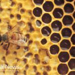 Mushrooms Saving Bees, Provide Bioshield Against Collapse