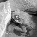 Shocking – Frogs Can Cure Cancer!