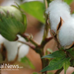 Dubbed one of the Dirtiest: How safe is our cotton?