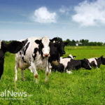 DAIRY COWS ARE FINALLY SET FREE AND THE UNIVERSE REJOICES!