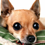 Dog Breeds Best Suited for Life In An Apartment