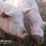 Russia Says No To American Pigs