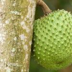 7 Medicinal Benefits of Guyabano(Soursop) Fruits
