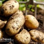 DIY Planting, Growing, Harvesting Potato Gardens