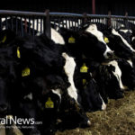 Meat Company Exposed For Illegal Slaughter And Sale To Schools Of Downer Cattle
