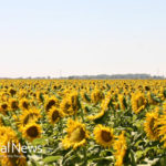 Sunflowers, the honeybee plight and an enthusiastic advocate