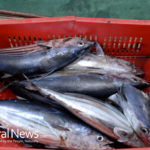 Fukushima: Is It Safe To Eat Radioactive Seafood?
