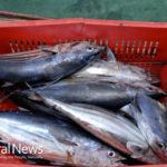 Fukushima: Is It Safe To Eat Radioactive Seafood?
