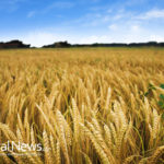 It's on! Farmers begin suing Monsanto over genetic pollution of wheat crops