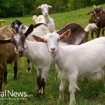 Hire A Goat?