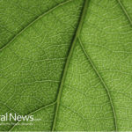 Kratom: A Beacon of Hope