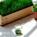 Wheatgrass Literally Can Turn Gray Hair Back to its Natural Colour & Slows Down Aging