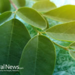 Moringa – a miracle tree ?