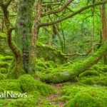 Irish Moss: The Great Rejuvenating Seaweed
