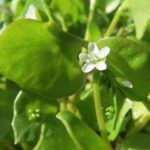 Purslane, a proven ancient cancer medicine