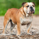 How Inbreeding caused health problems in English bulldogs
