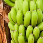 Green Bananas – 14 Incredible Health Benefits
