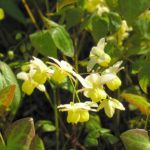 Can You Use Epimedium Extract To Treat Erectile Dysfunction?