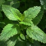 Lemon Balm: How to Use & Its Benefits & Side-Effects