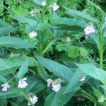 Benefits of Comfrey: Use Comfrey to Soothe Muscles & Joints Pain