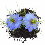 Black Seed Oil for Drug Withdrawal and Brain Rewiring